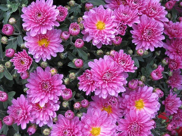 růžové astry